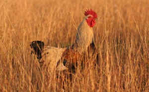Rooster in grass
